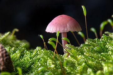 Kleiner Violetter Lacktrichterling im Moos auf dem Waldboden vor dunklem Hintergrund von Hans-Jürgen Janda