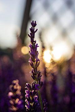 Lavendelzweig bei Sonnenuntergang. von Joeri Mostmans