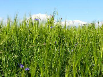 Wheat field in spring  van Barbara Hilmer-Schroeer