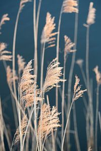Wuivend riet - riet pluimen aan het water van Ellen Metz