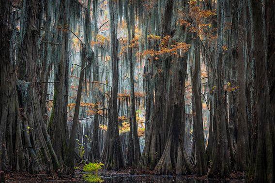 In de cypress swamps of Louisiana