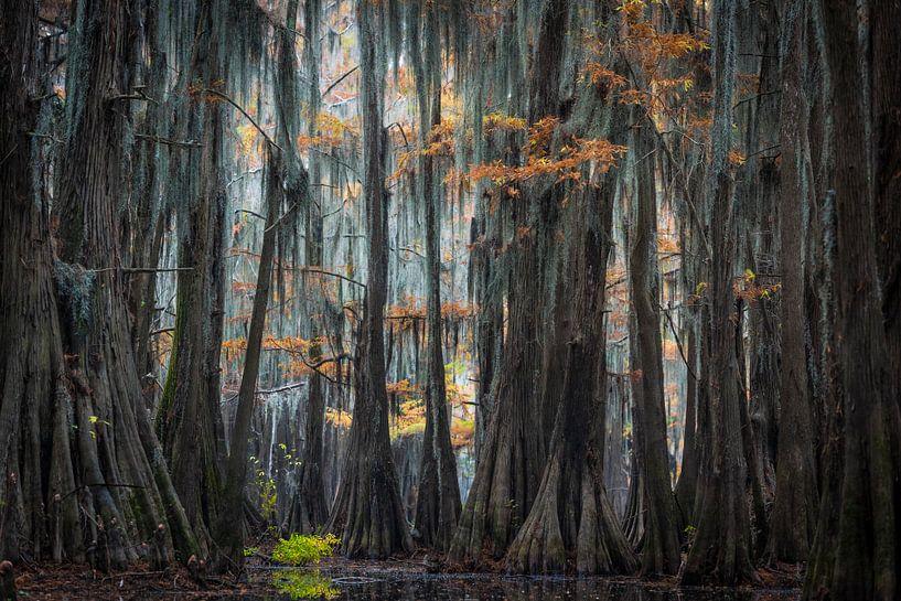In de cypress swamps of Louisiana  van Jose Gieskes