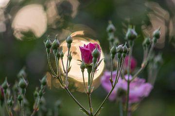 Bokeh Rose von Tania Perneel