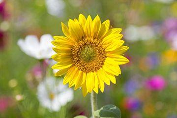 Gele zonnebloem kijkt je aan von Hans Winterink