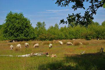 Weidende Schafe von Pieter Voogt