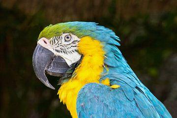 Close up van een blauw met gele ara van Ben Schonewille