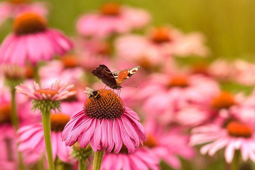 Er is genoeg voor iedereen, hommel en dagpauwoog samen op Echinacea van Anita Meis