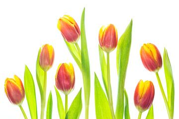 Tulpen met een witte achtergrond van Carola Schellekens