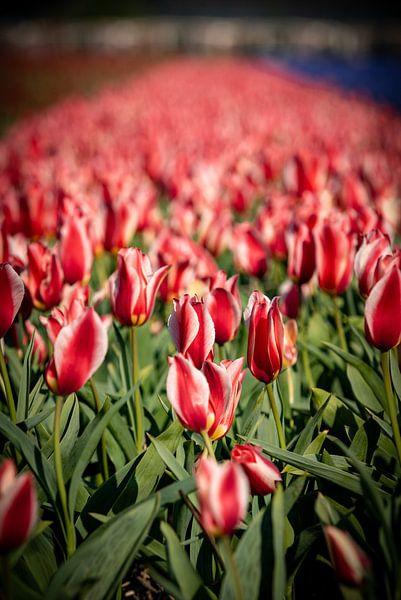 champ de bulbes de tulipes rouges en bulbes à fleurs lisses sur Erik van 't Hof