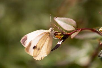 Pieridae in der Sonne von Tania Perneel