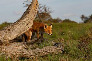 Fuchs zwischen Baumstämmen von Yvonne van der Meij