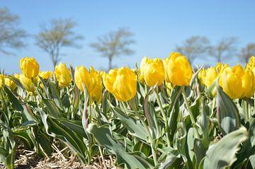 Gelbe Tulpe , Bellona Design von Jeffry Clemens