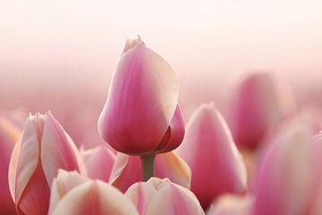 De Roze Tulp sur Peter Abbes