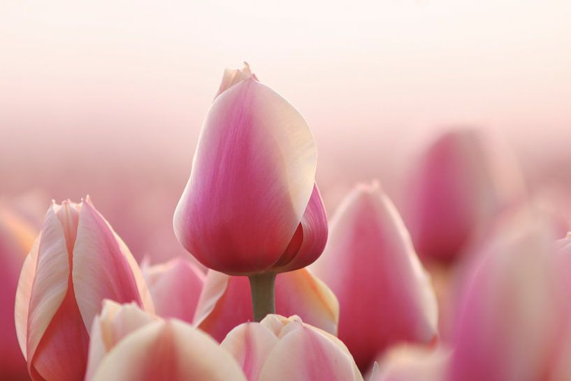 De Roze Tulp van Peter Abbes