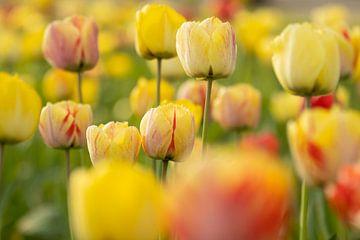 Kleurrijke Tulpen van Andius Teijgeler