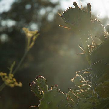 Cactus in de zon van Hannie Bom