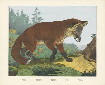 Volpi. / Renard. / Fuchs. / Fuchs. / Voss von R. Schulz, 1829 - 1880