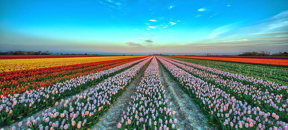 Dutch Tulips van Reint van Wijk