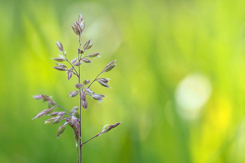 Wilde paars/witte bloem van Astrid Brouwers