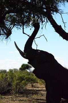 olifant Zuid-Afrika van Wendy van Staalduinen