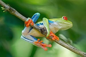 Roodoogmakikikker (Red Eyed Treefrog Costa Rica)