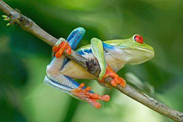 Roodoogmakikikker (Red Eyed Treefrog Costa Rica) van Cocky Anderson