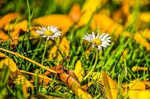 Les marguerites d'automne sur