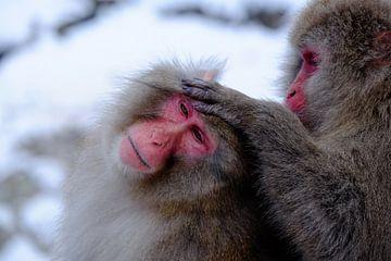 Snow Monkey 3 van