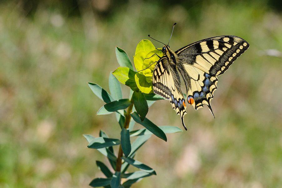 Koninginnepage,  Papilio machaon, gele vlinder op wolfsmelk, Frankrijk