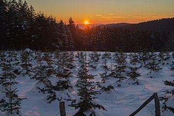 sundown over a pine tree plantation von Andrea Ooms