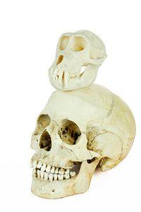 Schedels van mens en aap bovenop elkaar