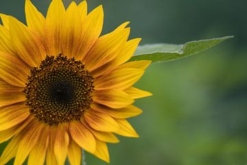 Gele zonnebloem van J..M de Jong-Jansen
