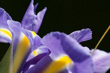 Paarse irissen van Simone Meijer