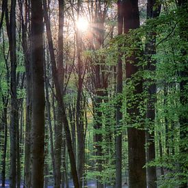 Hallerbos, ondergaande zon beschijnt hyacinten sur Eddie Meijer