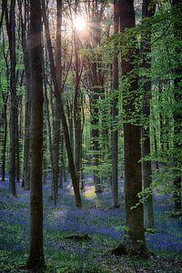 Hallerbos, ondergaande zon beschijnt hyacinten van