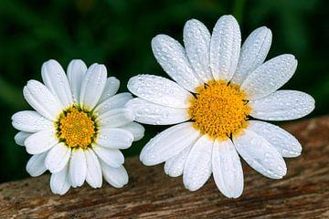 Gänseblümchen von Marga Vroom