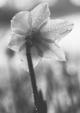 Narzisse, schwarz-weiß von Jessica Bakhuijs