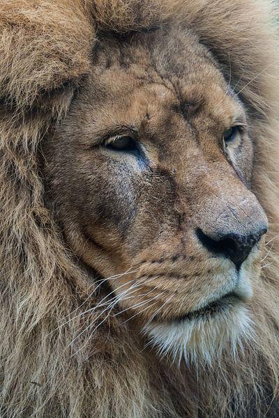 Der Löwe von Anjo ten Kate