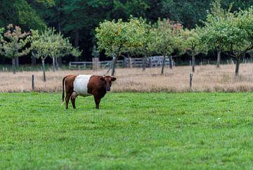 Een lakenvelder koe in een groen landschap van Compuinfoto .