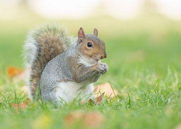 Grijze eekhoorn van Elles Rijsdijk