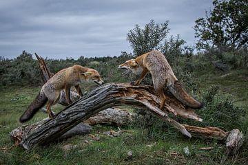 Strijd tussen twee vossen van Yvonne van der Meij