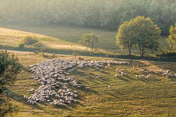 Schafherde im Naturpark Rheingau-Taunus bei Engenhahn von Christian Müringer