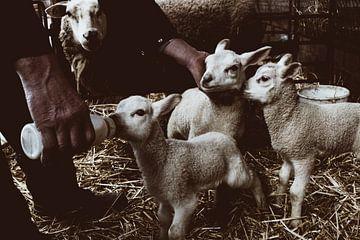 Schafe von Kitty Stevens