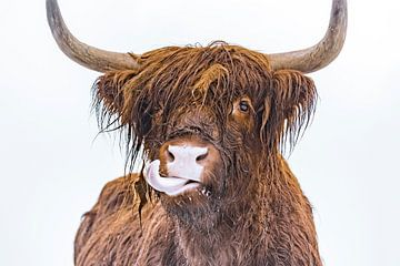 Porträt eines schottischen Hochlandrindes, das seine Zunge herausstreckt von Sjoerd van der Wal