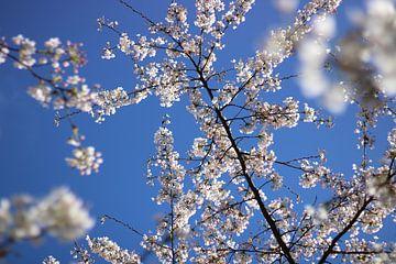 Weiße Kirsche Blume gegen einen blauen Himmel von Liselotte Helleman