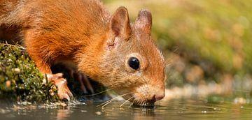 Dorstige eekhoorn van Joke Beers-Blom