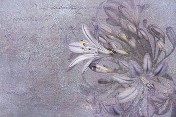 Schönheit einer Schmucklilie von Annette Hanl