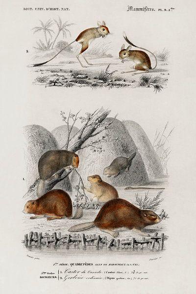Beaver (Castor) and Jerboa (Dipus) von Heinz Bucher