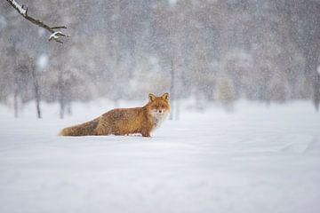 Fuchs im Schnee von Gert Hilbink
