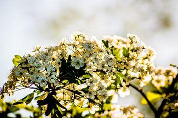 Weißdorn in Blüte von Frank Ketelaar